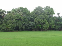 Grüne Bäume mit grünen Feldern Stockfotos