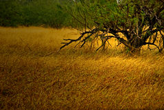 Grüne Bäume und goldenes Gras im Herbst Stockfotografie