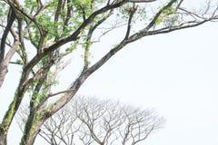 Grüne Bäume und transparenter Himmel der blattlosen Bäume ist der Hintergrund Stockbilder