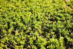 Grüne Büsche Stockfoto