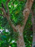 Grüne Baccaurea-ramiflora Frucht auf Baum lizenzfreies stockbild