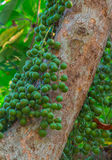 Grüne Baccaurea-ramiflora Frucht auf Baum lizenzfreie stockfotografie