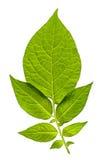 Grüne backlit Blätter Lizenzfreie Stockbilder