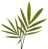 Grüne Bambus-Blätter getrennt auf Weiß. Stockfotos