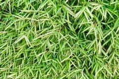 Grüne Bambusblätter Stockbild