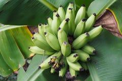 Grüne Banane stockfoto