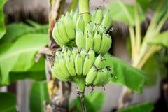 Grüne Banane auf Baum Stockfotografie