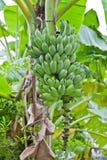Grüne Banane auf einem Baum lizenzfreies stockbild