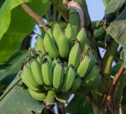 Grüne Banane auf einer Bananenstaude Lizenzfreies Stockfoto