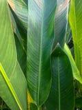 Grüne Banane verlässt mit Sonnenlicht lizenzfreie stockbilder