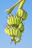 Grüne Bananen Lizenzfreies Stockbild