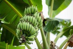 Grüne Bananen auf Bananenstaude stockbild
