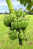 Grüne Bananen auf Baum Stockfotos
