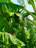 Grüne Bananen auf Baum Lizenzfreies Stockbild