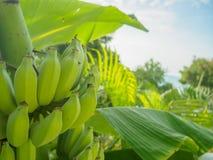 Grüne Bananen auf Baum Lizenzfreies Stockfoto