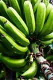 Grüne Bananen in einem Baum stockbild