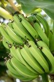 Grüne Bananen reifen in der reichen tropischen Sonne Lizenzfreie Stockfotografie