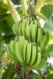Grüne Bananen reifen in der reichen tropischen Sonne Stockbild