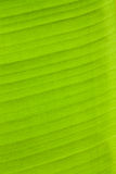 Grüne Bananenblätter. Lizenzfreie Stockbilder