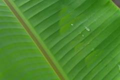 Grüne Bananenblattdiagonale mit Wassertropfendetail Stockbilder