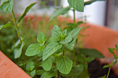 Grüne Basilikumbetriebsblüte im Blumentopf Stockfotografie