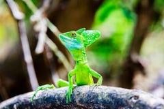 Grüne Basilisk-Eidechse stockbild