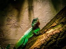 Grüne Basilisk-Eidechse Basiliscus plumifrons Lizenzfreie Stockfotografie