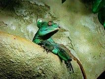 Grüne Basilisk-Eidechse Basiliscus plumifrons stockbild