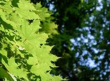 Grüne Baum-Blätter und Morgen-Sommer Sun Lizenzfreies Stockbild