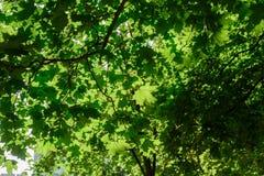 Grüne Baum-Blätter und Morgen-Sommer Sun Stockfoto