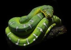 Grüne Baum-Pythonschlange stockfotos