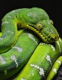 Grüne Baum-Pythonschlange lizenzfreies stockbild