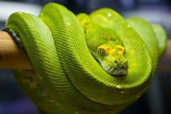 Grüne Baum-Pythonschlange stockbild