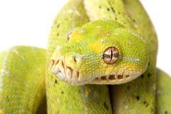 Grüne Baum-Pythonschlange stockbilder