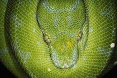 Grüne Baum-Pythonschlange Lizenzfreie Stockfotografie