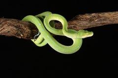 Grüne Baum-Pythonschlange stockfotografie
