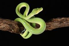 Grüne Baum-Pythonschlange lizenzfreies stockfoto
