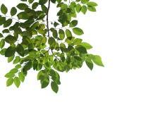 Grüne Baumastnahaufnahme lokalisiert auf Weiß stockbilder