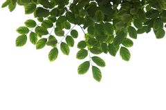 Grüne Baumastnahaufnahme lokalisiert auf Weiß stockfotos