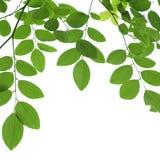 Grüne Baumastnahaufnahme lokalisiert auf Weiß lizenzfreie stockfotografie