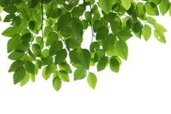 Grüne Baumastnahaufnahme lokalisiert auf Weiß stockfoto