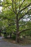 Grüne Baumplatane (Acer-pseudoplatanus) im Park mit frischem Wald und Weg Lizenzfreie Stockbilder