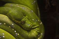 Grüne Baumpythonschlange - Morelia viridis Stockfotos