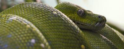 Grüne Baumpythonschlangenfahne Lizenzfreies Stockfoto