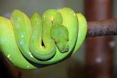 Grüne Baumpythonschlangeschlange, Chondropython viridis lizenzfreie stockfotografie