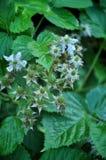 Grüne Beeren und Blumen von jungen Brombeeren stockfoto