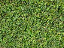 Grüne belaubte Rebe bedeckte Wand für Hintergrund Stockfoto