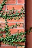 Grüne Beschaffenheit des Blattes auf Wand des roten Backsteins Stockbilder