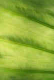 Grüne Beschaffenheit von gewellten Blättern Stockbild