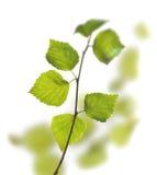 Grüne Birkenblätter Stockfoto
